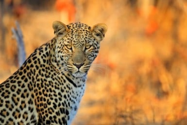 Keywords: botswana;leopard;animal;south;africa;delta;african;art;closeup;tree;natural;park;national;reserve;yellow;holiday;fur;head;spotted;orange;grass;backround;glance;portrait;spotty;stare;zimbabwe;look;face;coat;cat;wilderness;blotchy;sunset;sight;background;wild;nature;glimpse;game;eye;landscape;wildlife