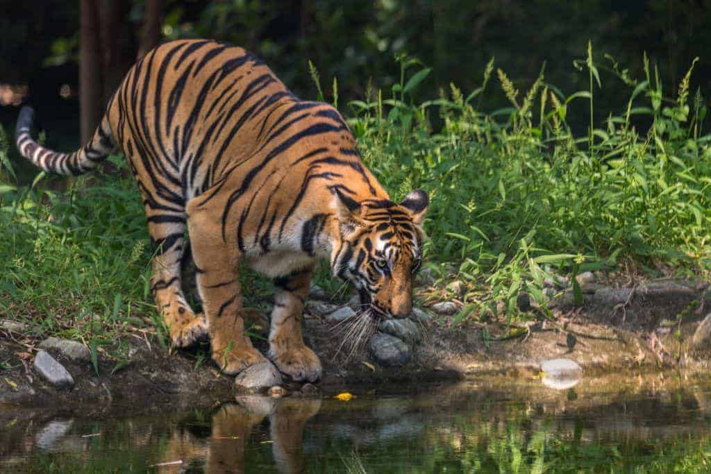 safari bangladesh - Royal Bengal Tiger
