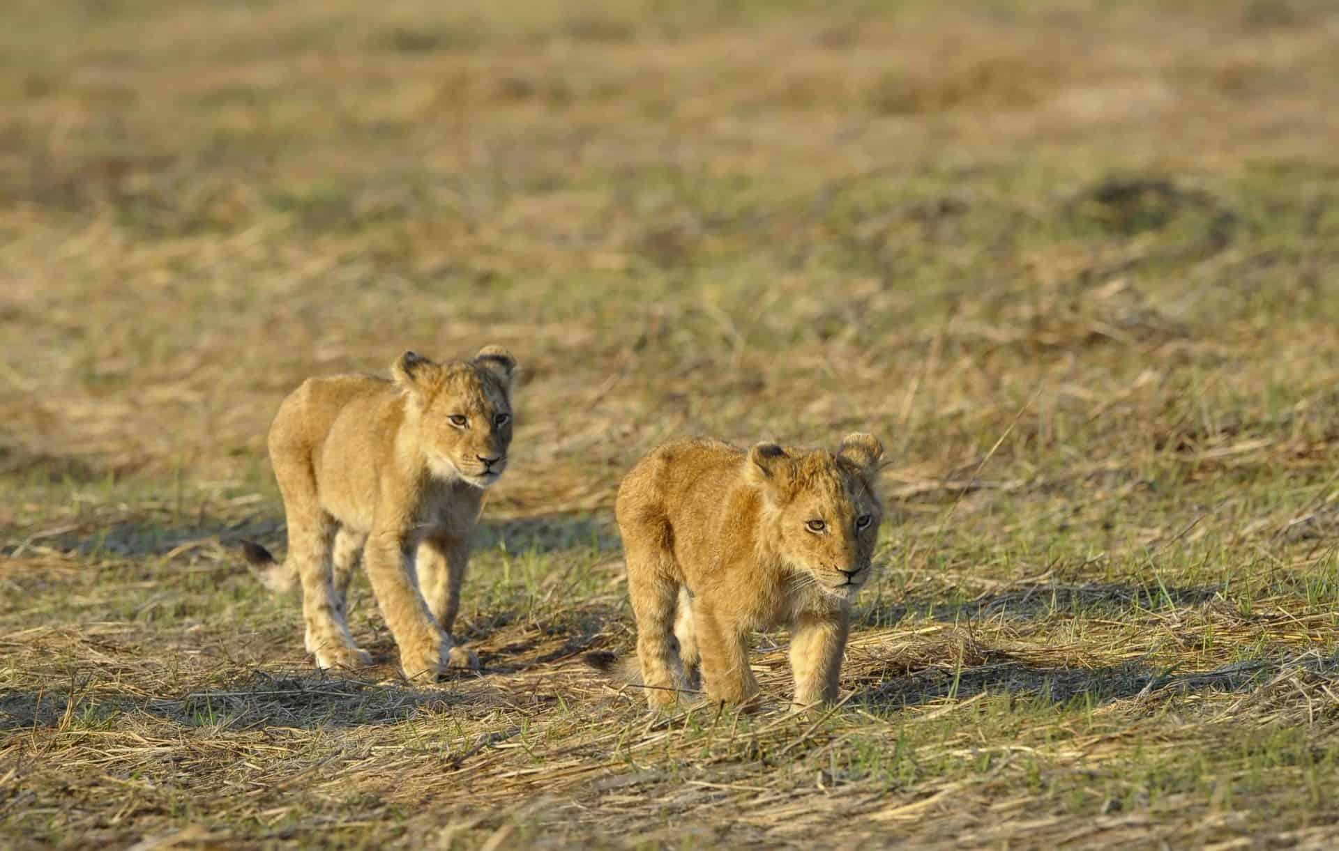 Two young lions. Two small young lions go on savanna. A yellow grass. The morning sun.