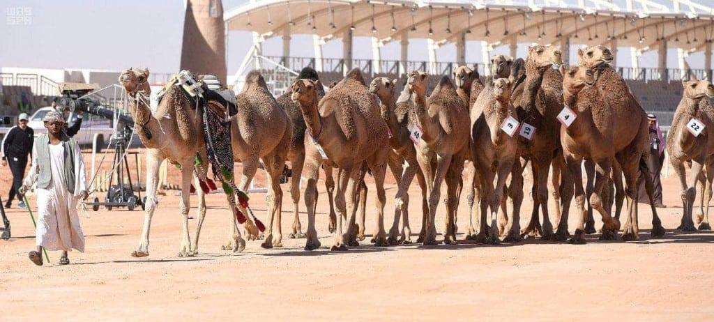 cup arabia camel
