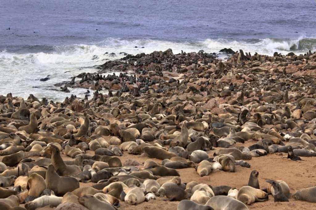Cape Fur Seals (Arctocephalus pusillus) at Cape Cross Seal Colony on the Skeleton Coast in Namibia