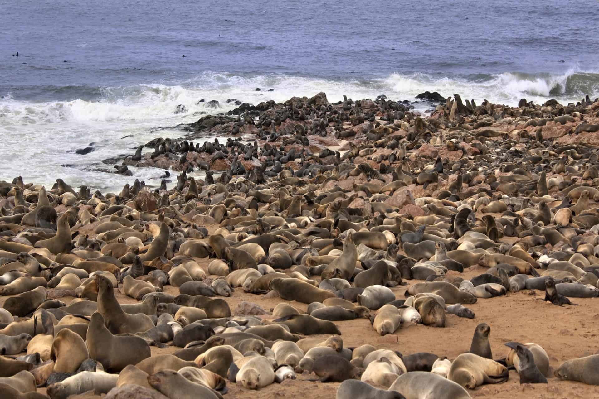 Cape Fur Seals (Arctocephalus pusillus) at Cape Cross Seal Colony on the Skeleton Coast in Namibia