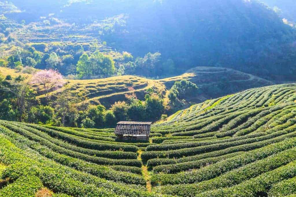 Tea Plantation in Chiang Mai