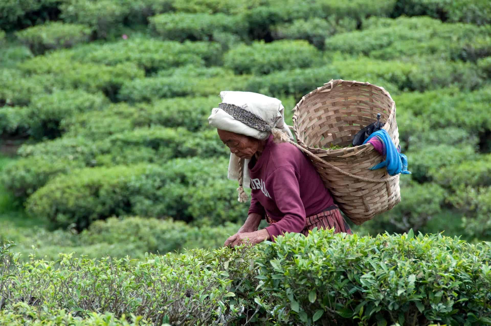 Nepali tea.