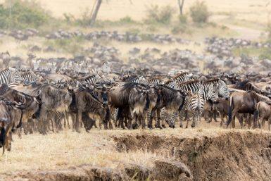 Watch migrating zebra and wildebeests