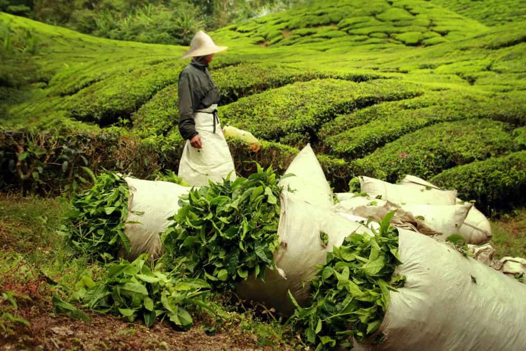 Pick Ceylon tea leaves