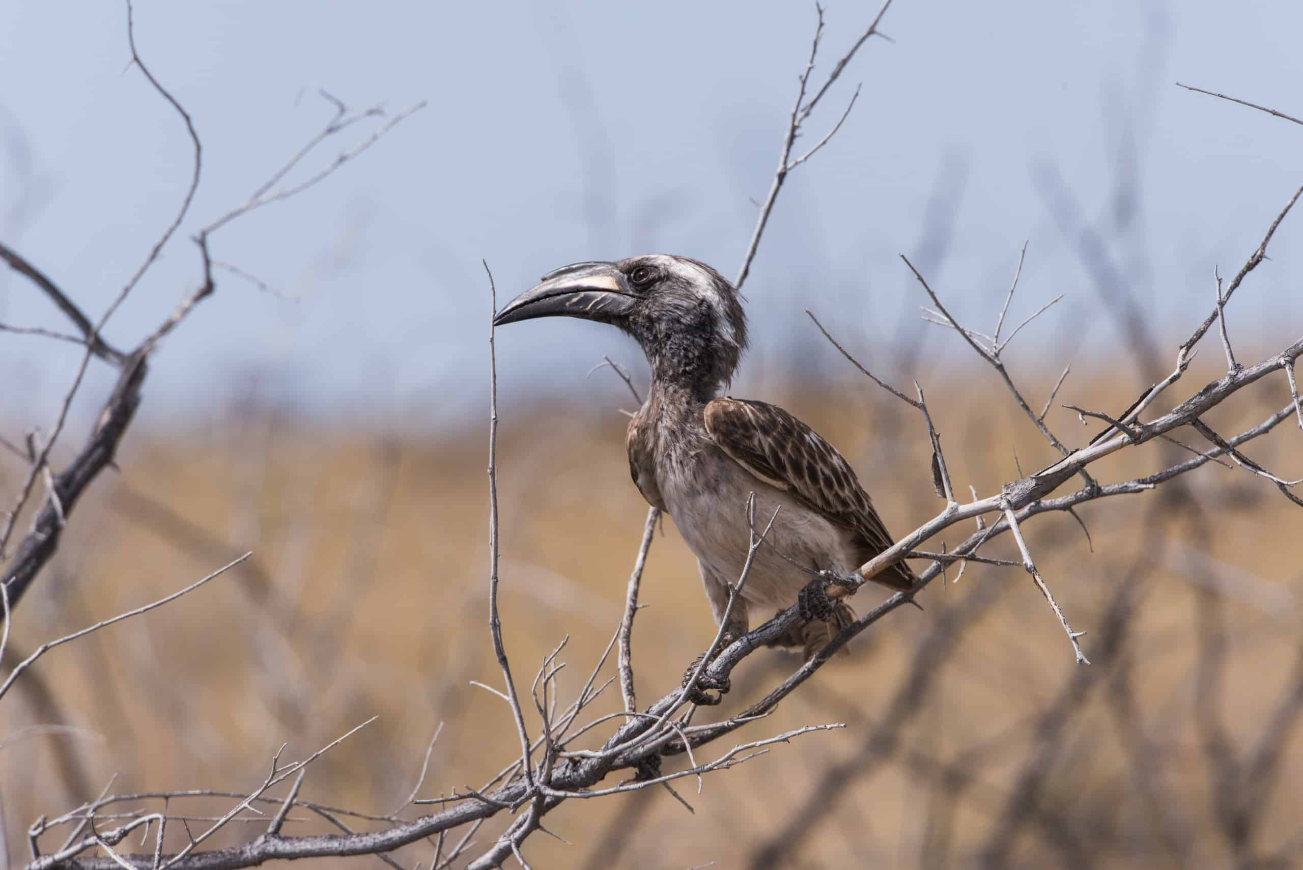 African grey hornbill (Tockus nasutus) perched on bare branch, Etosha National Park, Namibia