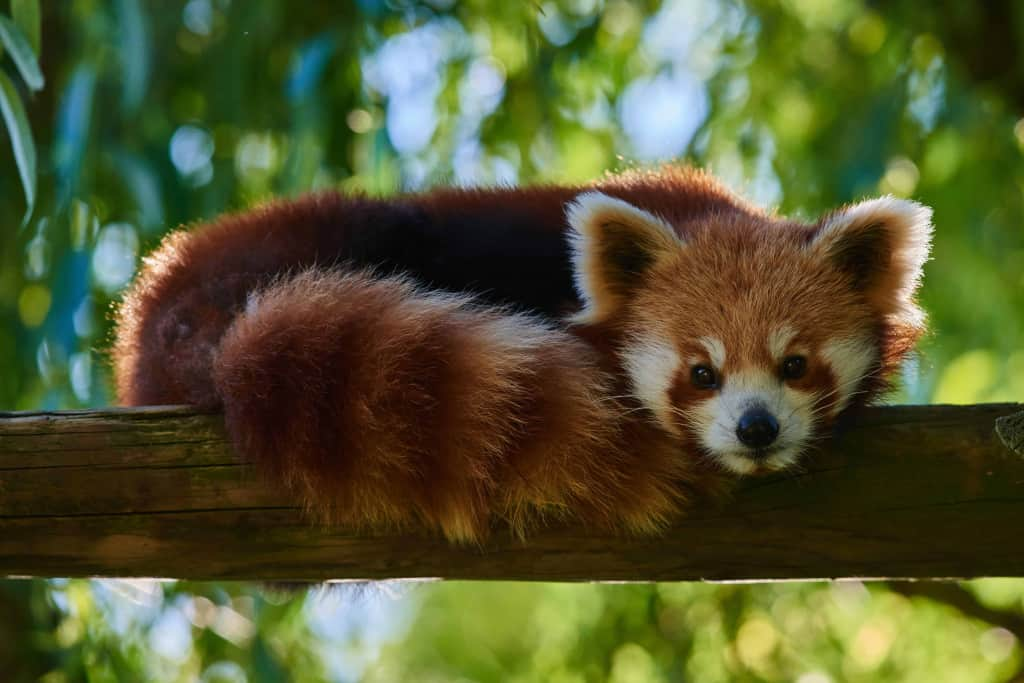 Red pandas can be found in Putao