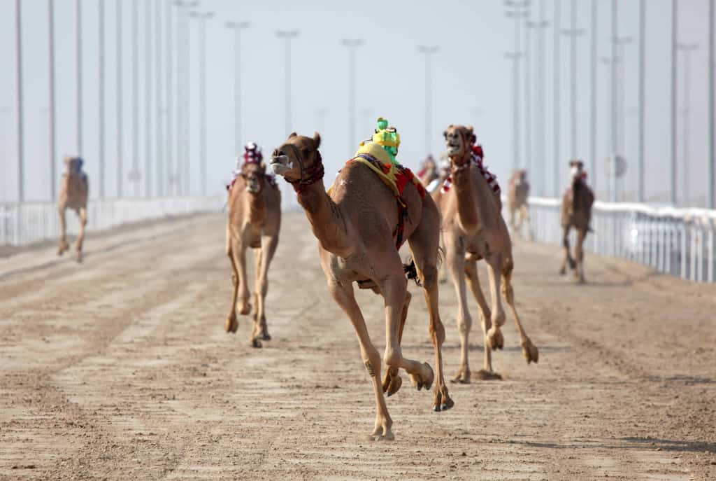 Middle Eastern camel racing